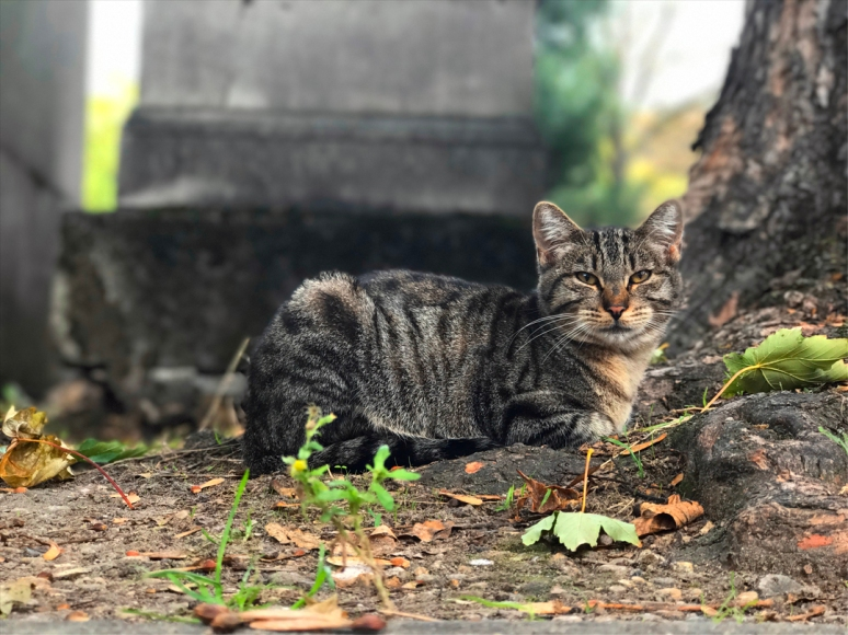 #TBT (Throwback Tabby): Recognize the kitten? Here's a shot of the same cat above in 2017. Yes, she's always up for some Fancy Feast, Cimetière de Montmartre (Photo by Theadora Brack)